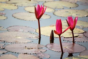 nauphea flowers