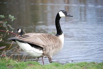 canda goose 1