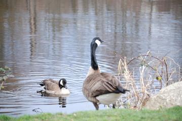 canda goose 3