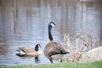 canda goose 4