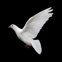 white dove in flight 11