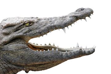 Autocollant pour porte Crocodile crocodile gueule ouverte sur fond blanc