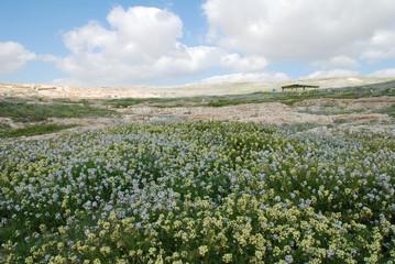 flowers in the negev desert