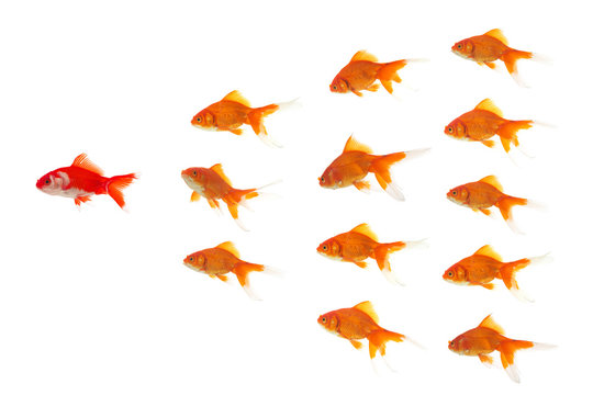 red goldfish leading