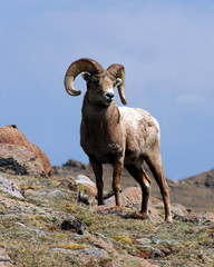 Wall Mural - king of the mountain (bighorn ram)