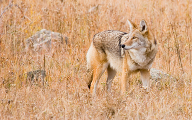 Wall Mural - colorado coyote