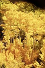aspen, fall colors 6