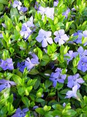 purple periwinkle flower