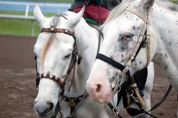apaloosa horses