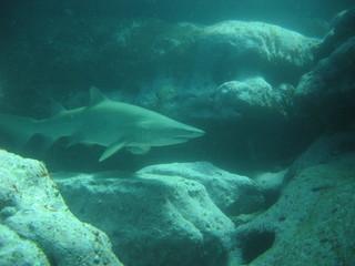 grey nurse shark (sand tiger shark)