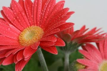 Foto op Aluminium Gerbera bright and cheery dew covered daisy