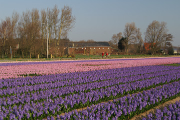 hyacint fields of holland
