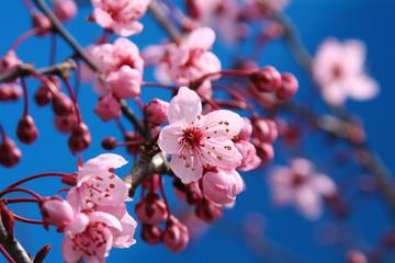 Papiers peints Fleur de cerisier cherry blossom