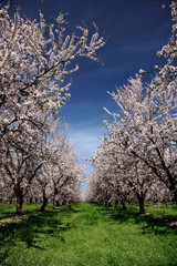 almond orchard in bloom