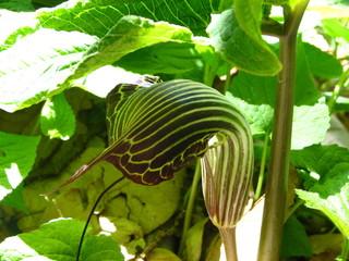 cobra plant