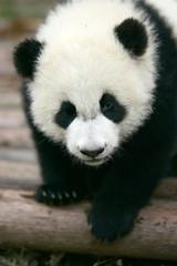 panda young