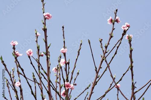 arbre branches fleurs rose printemps ciel bleu photo libre de droits sur la banque d 39 images. Black Bedroom Furniture Sets. Home Design Ideas