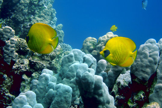 yellow fishes above a reef
