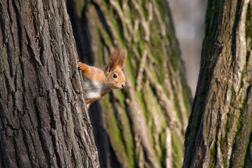 squirrel look out from tree stem