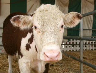 brown spotted cow