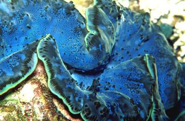 riesenmuschel - blau