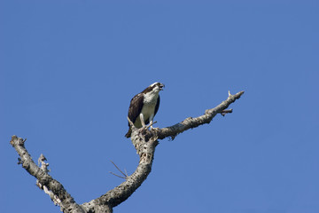 osprey perched on a old tree