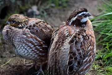 chucker partridge birds