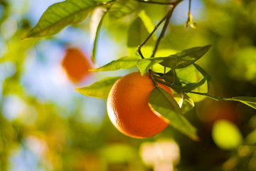 Wall Mural - ripe oranges on tree close-up. shallow dof