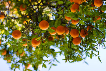 Wall Mural - ripe oranges on a tree