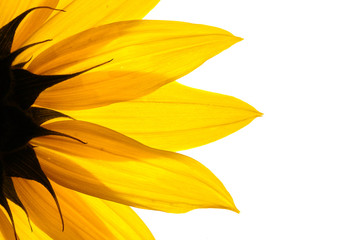 Wall Mural - sunflower detail isolated on white background