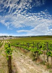 Wall Mural - summer vineyard