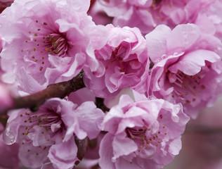 sakura branch_outside