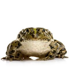 grenouille rieuse - rana ridibunda