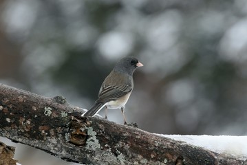 junco in the snow