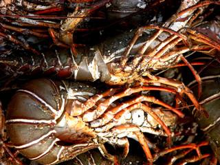 lobster backgrounds