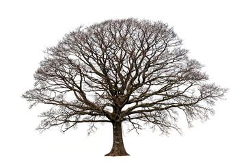 Obraz the oak in winter - fototapety do salonu