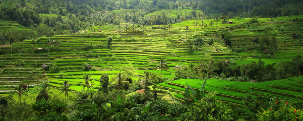 Garden Poster Rice fields rice terraces, bali, indonesia