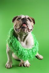 english bulldog wearing lei sitting on green background.