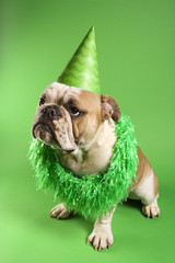 english bulldog wearing lei and party hat on green background.