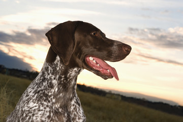 german shorthaired pointer panting in field.