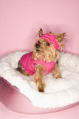 Yorkshire Terrier dog wearing pink outfit.