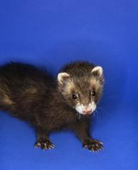 brown ferret.