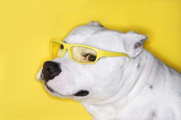 White dog wearing yellow glasses.