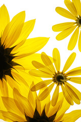 Wall Mural - sunflowers on white background
