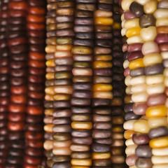 multicolored indian corn.