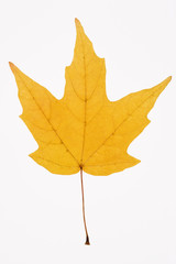 yellow maple leaf on white.