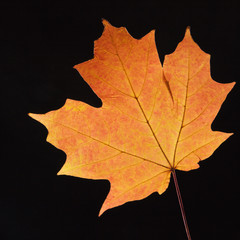 orange maple leaf on black.