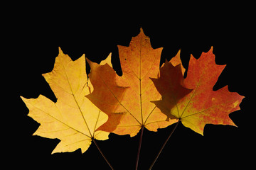 maple leaves in fall color on black.