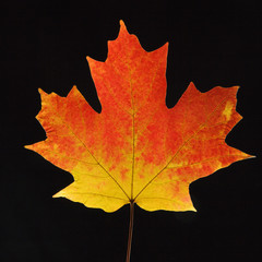 maple leaf in fall color on black.