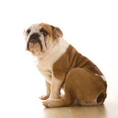 english bulldog  portrait.